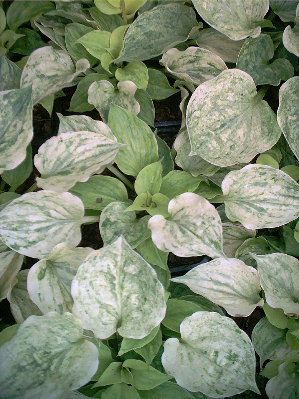 Hosta 'Gold Needles'