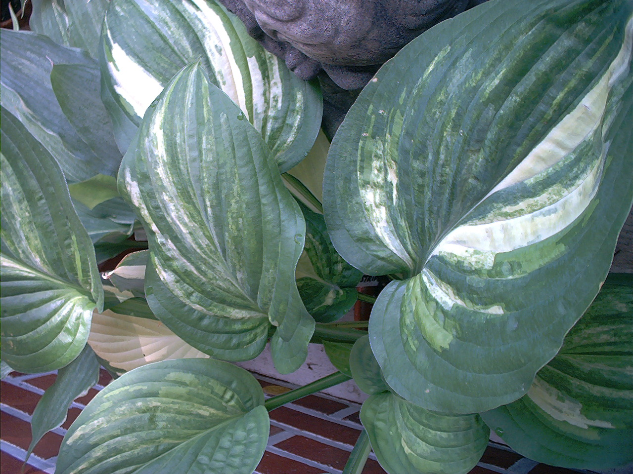 Hosta 'Pin Stripe Sisters'