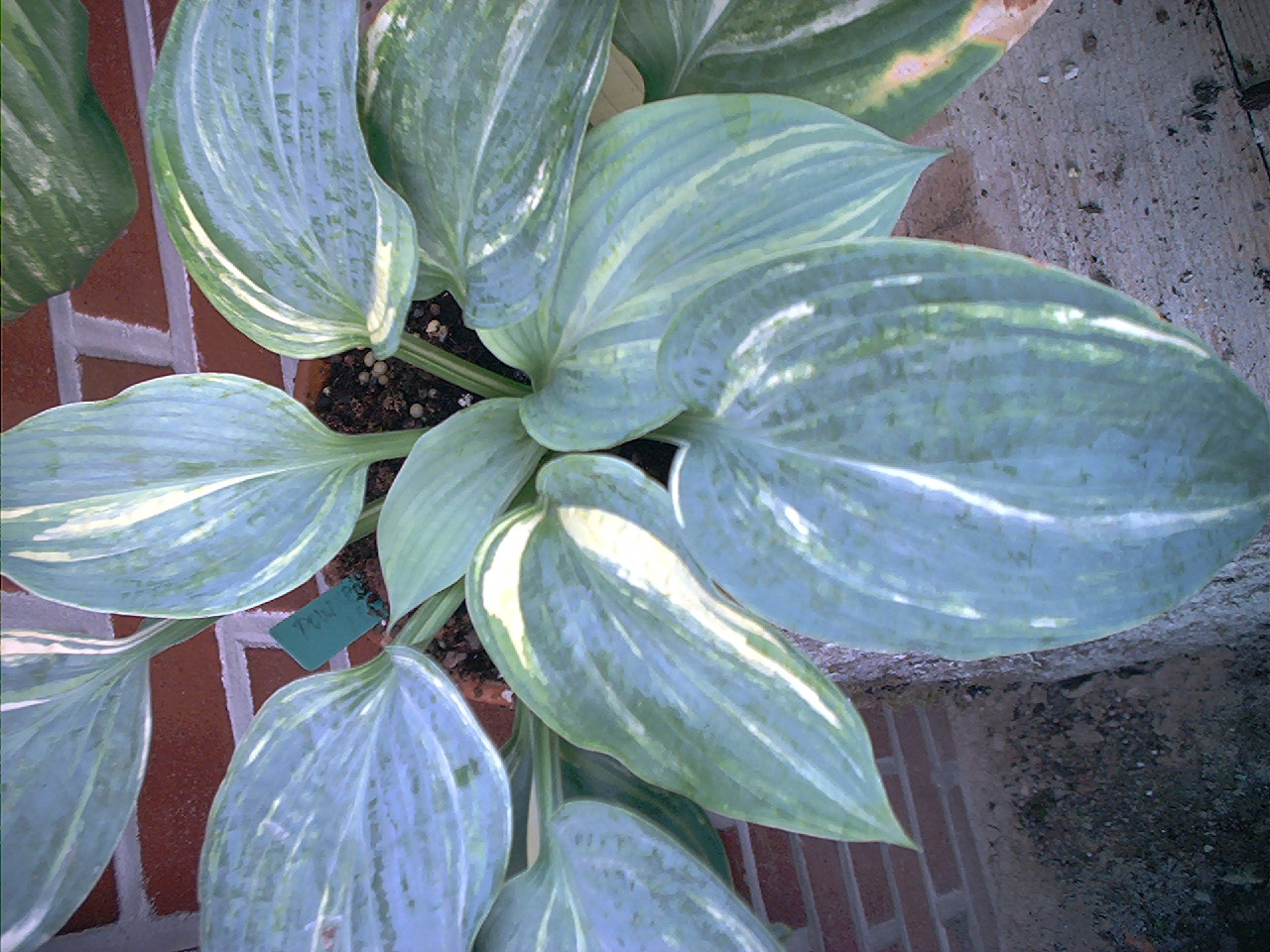 Hosta 'Powder Keg'